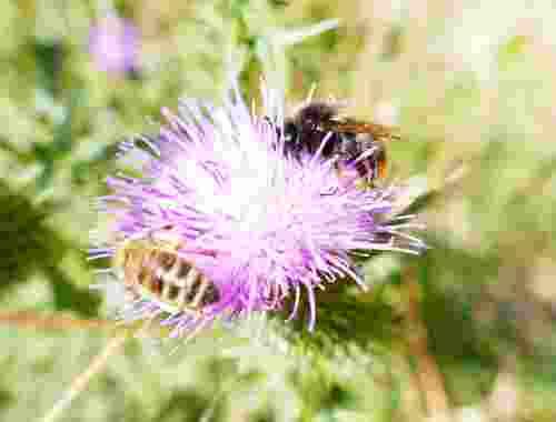 Helft den Bienen, rettet uns Menschen!--Biene auf Blume