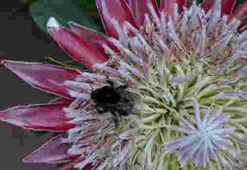 Helft den Bienen, rettet uns Menschen!--Hummel auf Blüte ohne Pestizide